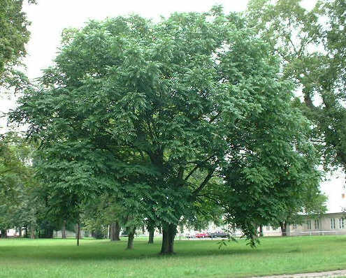 Orzech drzewo
